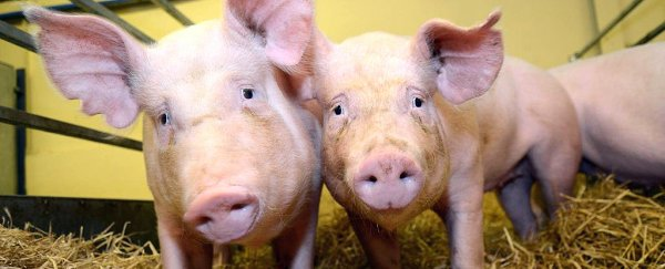 Genetically modified pigs resistant to deadly disease are now a thing