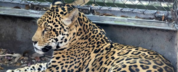 A jaguar escaped its zoo habitat and moved from one enclosure to the next killing animals