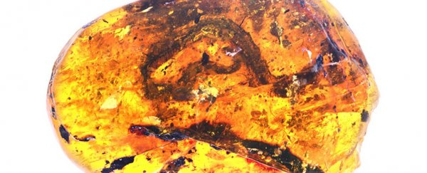 The first known baby snake fossil has been discovered in a lump of amber