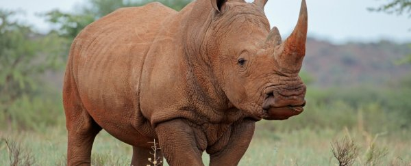 The wild idea of introducing rhinos to Australia is not as insane as it sounds