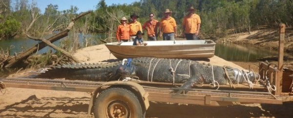 A gigantic crocodile was just caught in Australia after 10 years on the run