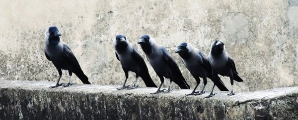 Are crows and ravens friends? A new study says hell no
