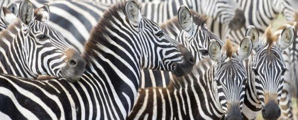 It's 2018, and we still don't know why zebras have stripes - but we just got closer