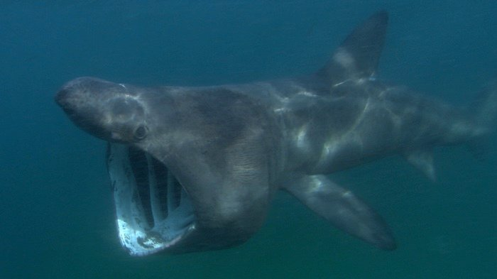 830 basking shark tracking 2