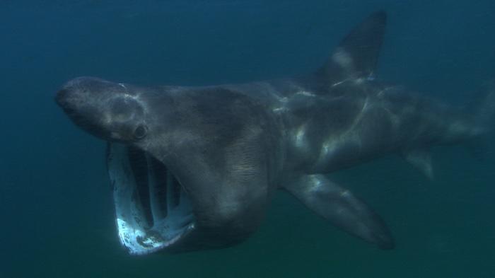 830 basking shark tracking 2