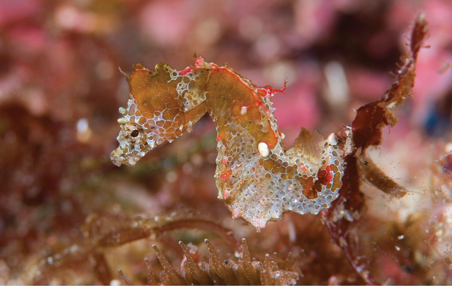 oo 220696 pygmy seahorse