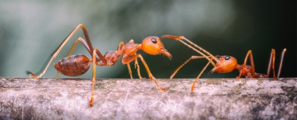 Next time someone calls you lazy, tell them this story about fire ants