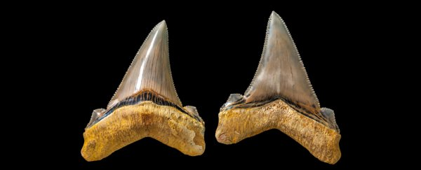 You think 'The Meg' had horrifying prehistoric shark teeth? Meet the Australian version