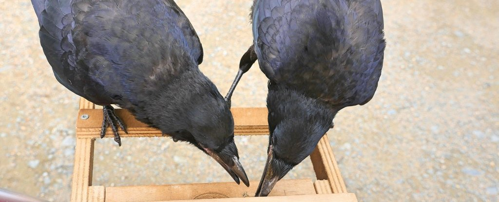 A French Theme Park Has 'Hired' Trained Rooks to Pick Up Trash And Cigarette Butts