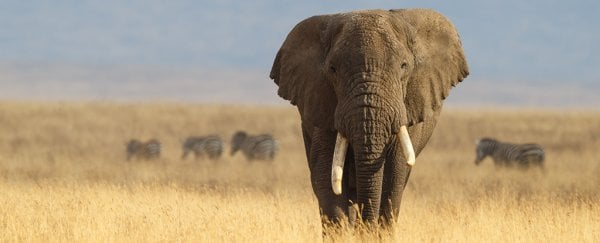 Elephants hardly ever get cancer, and we may finally know their secret