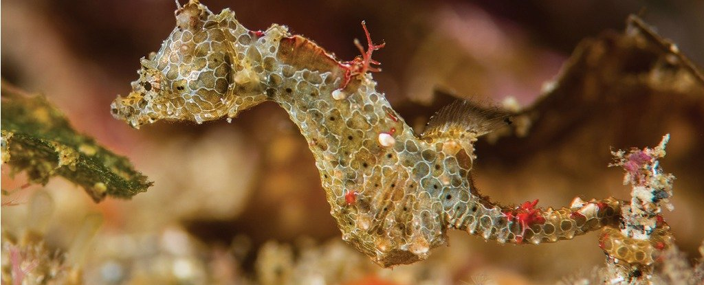 As Small as a Grain of Rice, This Newly Discovered Seahorse Will Totally Make Your Day