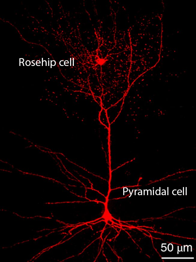 rosehip neuron and pyramidal neuron