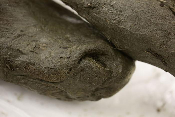 siberian foal nose
