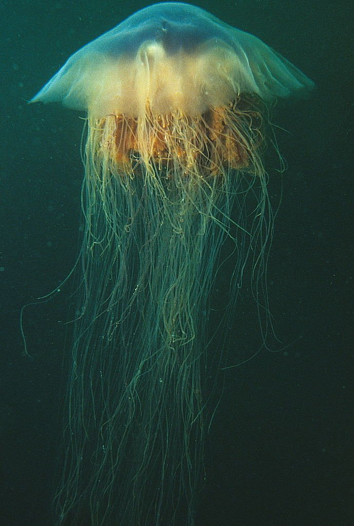 Lions mane jellyfish or hair jelly Cyanea capillata the largest know jellyfish in Newfoundland Canada. 21390221575