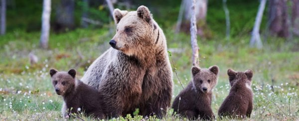 Yellowstone grizzly bears just got saved from a hunt, with restored federal protections