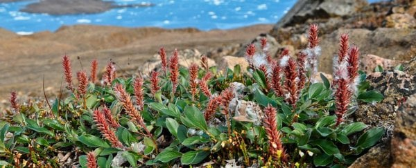Something unexpected has been happening to plants in the Arctic as it gets warmer