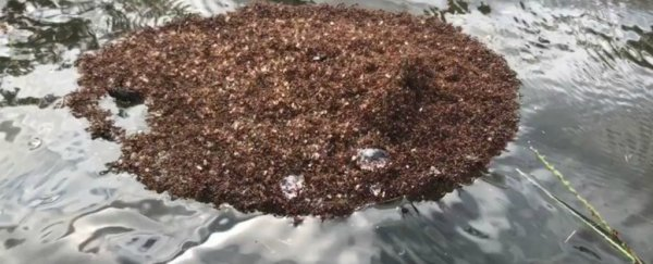 Terrifying 'rafts' of stinging fire ants are now floating around after Hurricane Florence