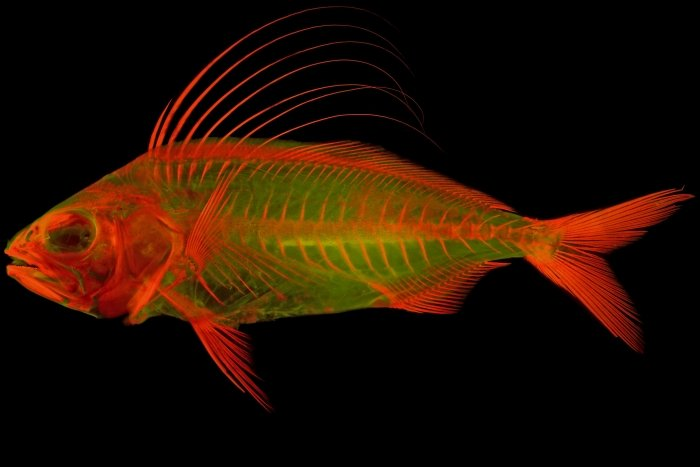 skeletal imaging roosterfish