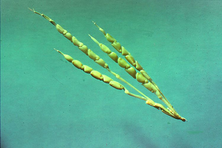 teosinte ancestor of corn