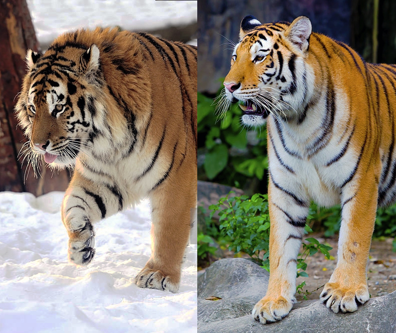 Siberian tiger (left) and Bengal tiger (right). (Byrdyak/piyagoon/iStock)
