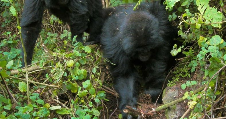 mountain gorillasbody