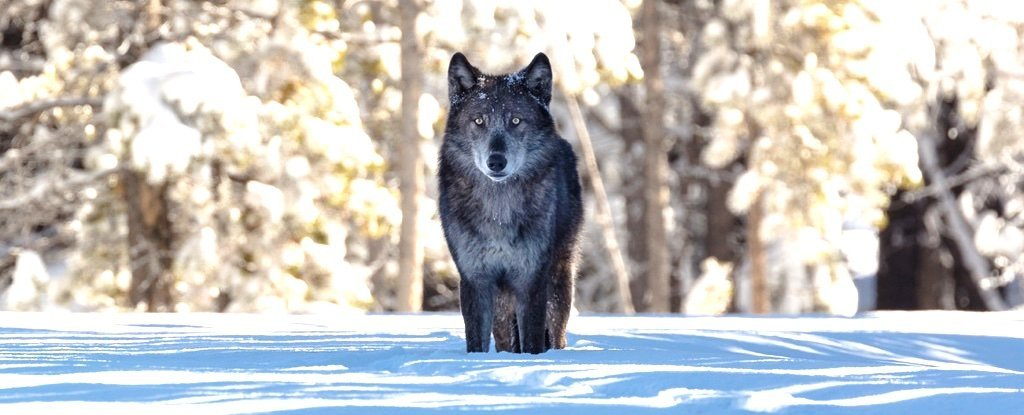 It Started With Just 14 Wolves. Then, Yellowstone Changed in Ways We Never Predicted