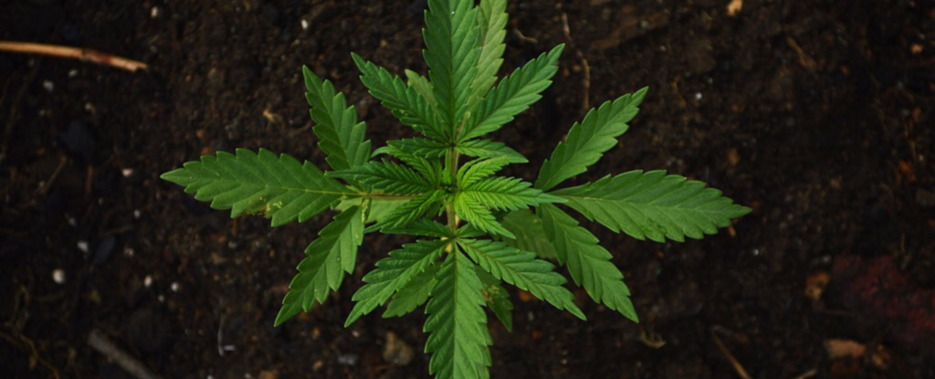 Most Cannabis Strains Have Virtually Identical THC And CBD Levels
