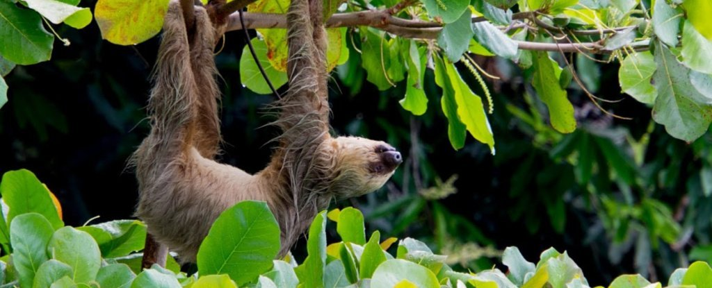 Sloths Have a Super Weird Metabolic Ability Nobody Has Ever Seen Before