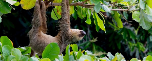 Sloths Have a Super Weird Metabolic Ability Nobody Has Ever