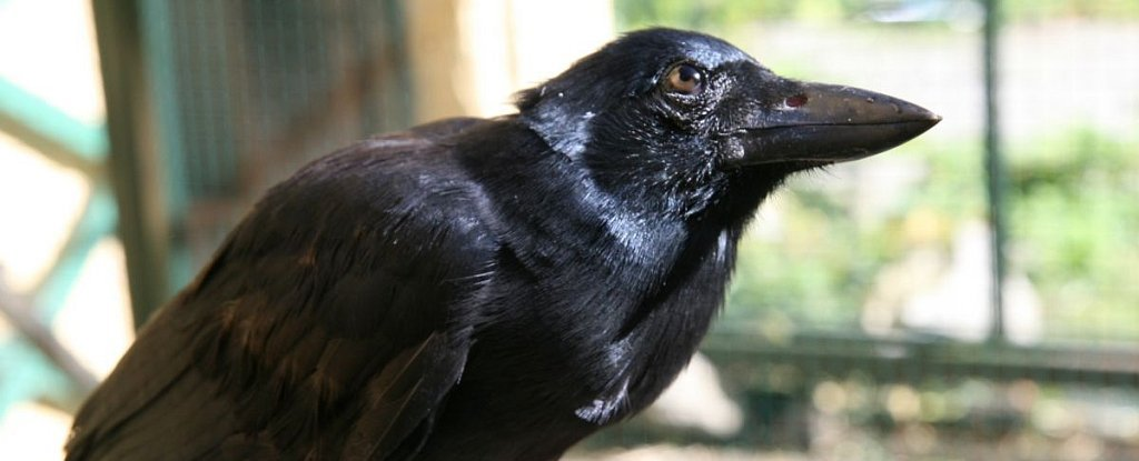 Crows Can Build Compound Tools Out of Multiple Parts, And Are You Even Surprised