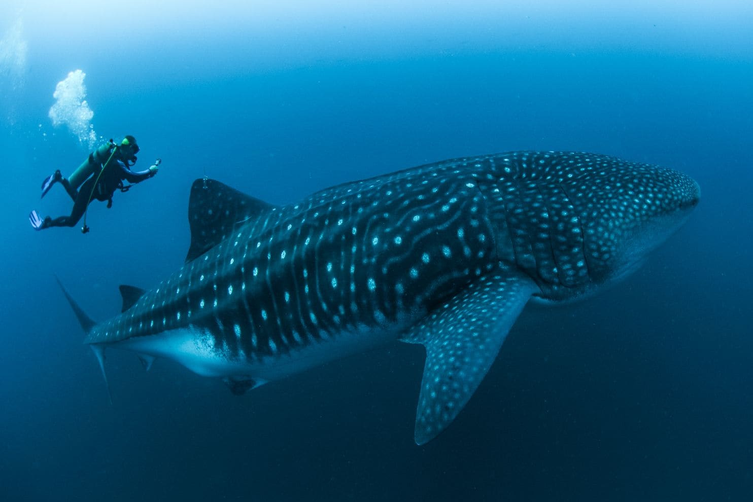 Rui Matsumoto performs an ultrasound on an adult female whale shark. (Simon J. Pierce)