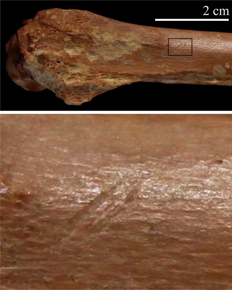 Stone tool cut marks on animal skeleton. (I. Caceres)