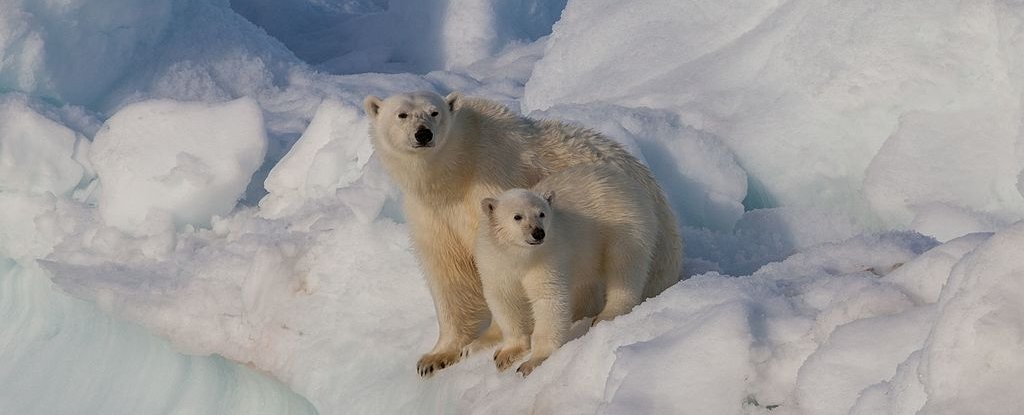 Good News! We Have Found a Thriving Polar Bear Population Somewhere on Our Planet