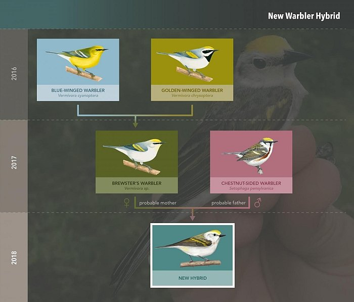 triple hybrid bird family tree