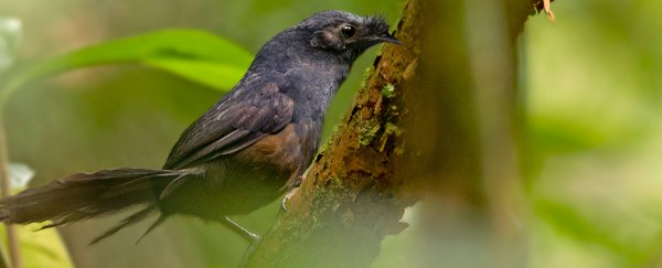 3eae13067df Researchers Just Spotted The  World s Rarest Bird  in Brazil
