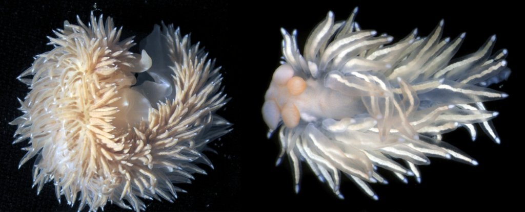 Scientists Just Described 5 Fantastically Bizarre New Nudibranchs at The Bottom of The Ocean