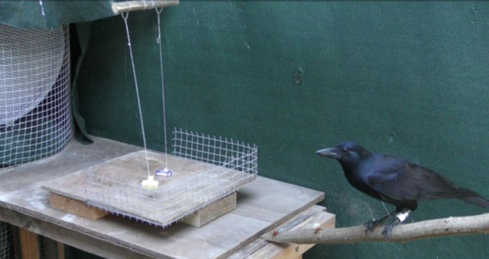 crow weight experiment