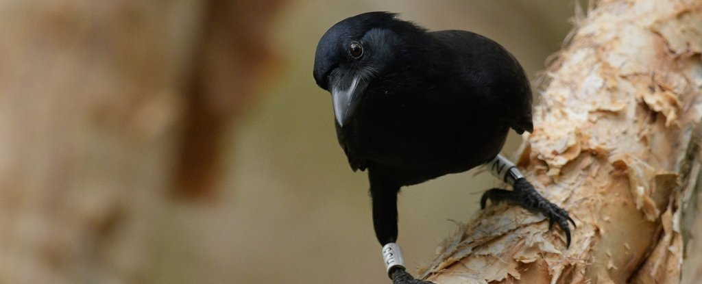 Crows Are So Clever They Can Judge Weight Using a Technique We've Only Seen in Humans