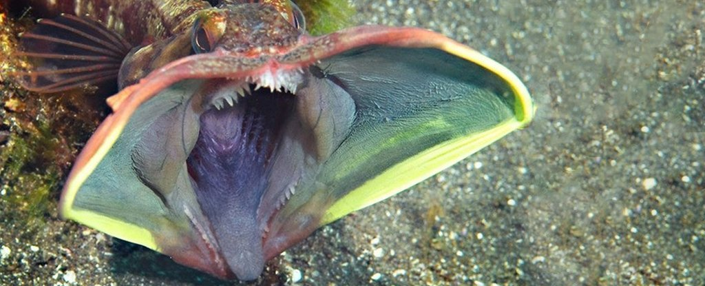 The Sarcastic Fringehead Is a Real Living Thing, And It's Spectacularly Horrifying