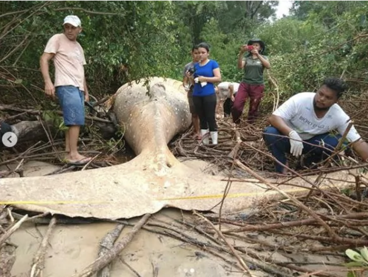 A Dead Whale Has Been Found On The Edge Of The Amazon Jungle