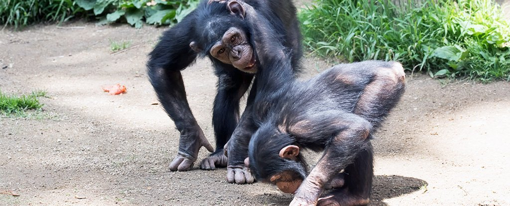 There's a Weird Similarity Between Chimp Communication And Human Language