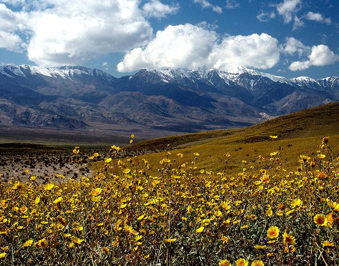 700px Death Valley Gerea canescens