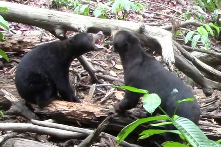 Sun Bears Just Joined a Short List of Animals With a Weird