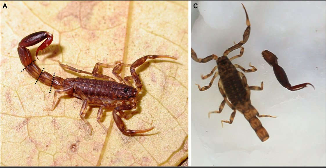 Ananteris before and after tail cleavage (Thorell 1891/Botero-Trujillo & Flórez 2011)
