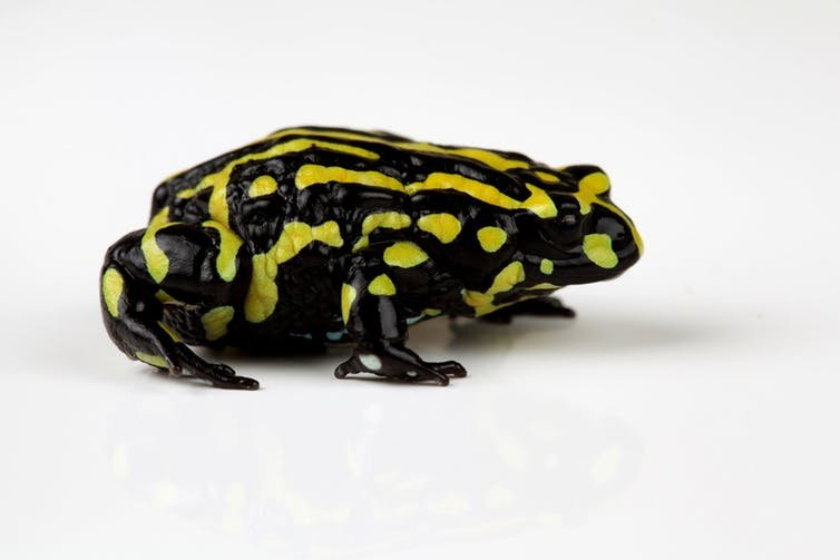 The southern corroboree frog: hopefully not a disappearing icon. (Corey Doughty)