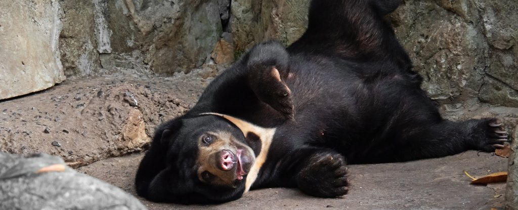 Sun Bears Just Joined a Short List of Animals With a Weird And Complex Social Skill