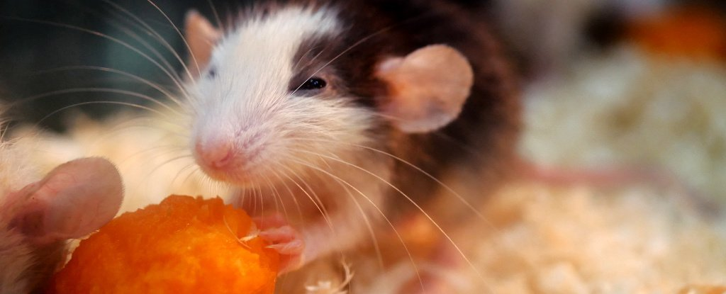 Scientists Have Cured Alcoholic Rats by Shooting Lasers at Their Brains