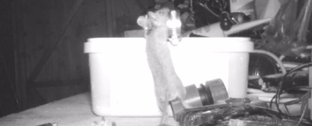 Man Shocked to Discover a Mouse Kept Cleaning His Shed at Night. This Is Why
