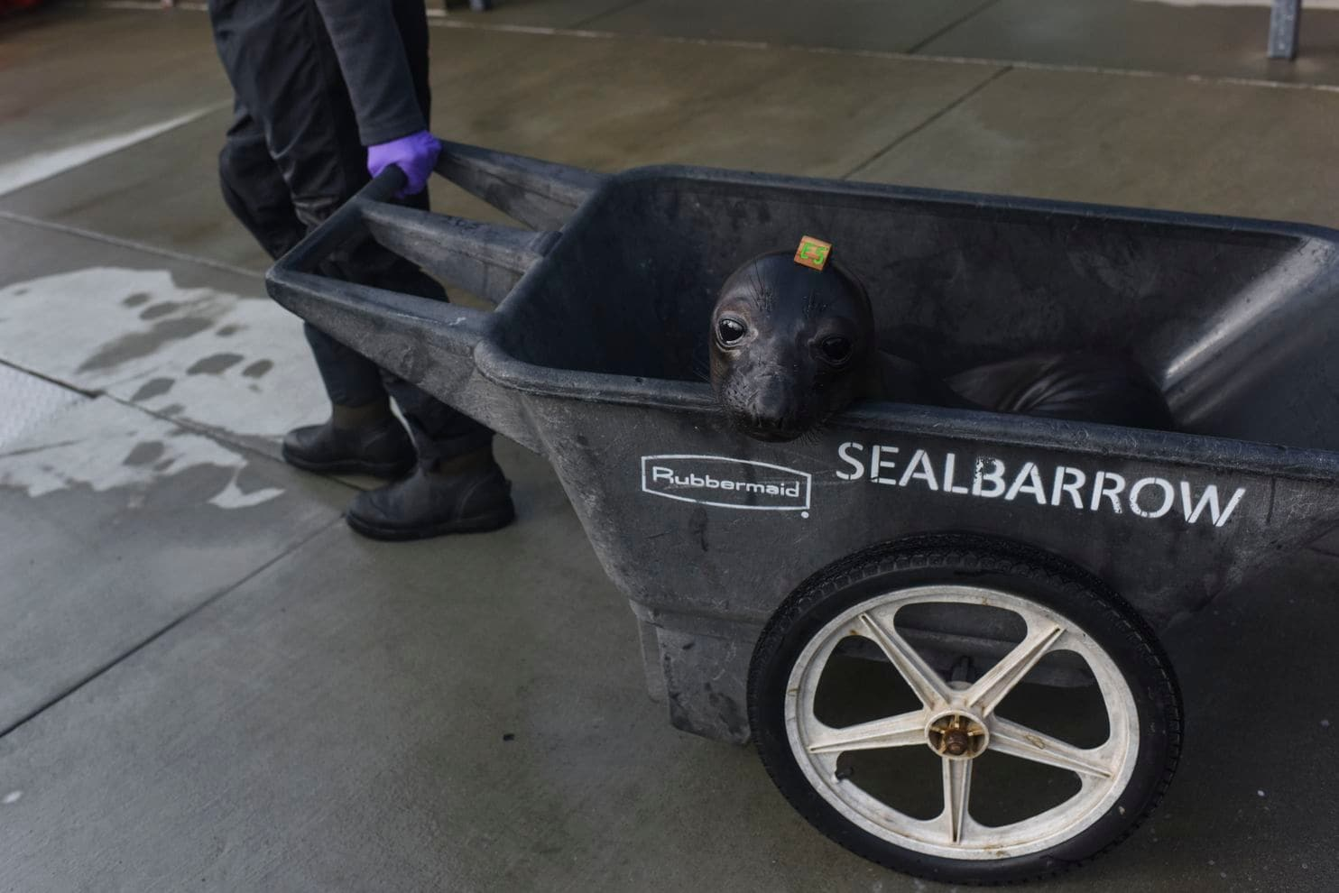 Seals are transported from their pens to medical exams. (Michael Robinson Chavez/The Washington Post)