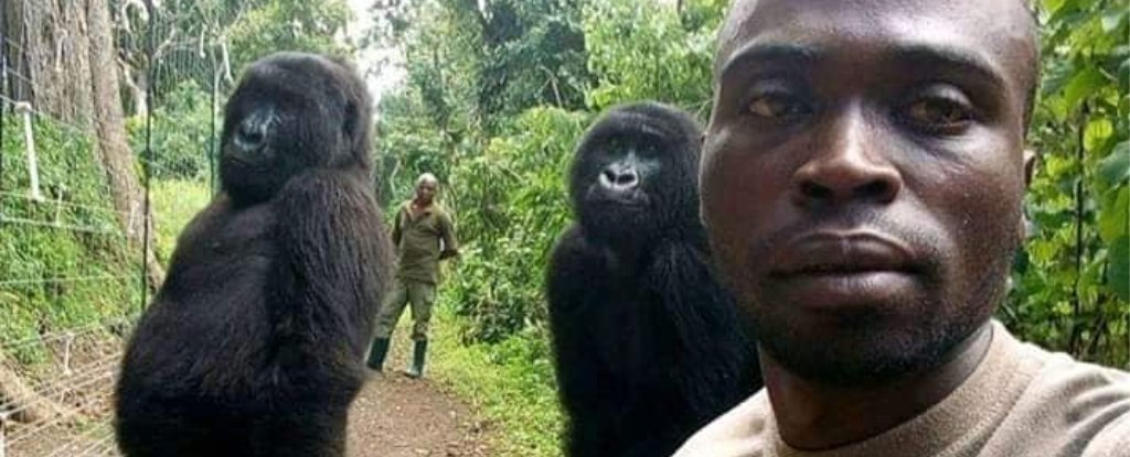 Gorillas Caught in Viral Selfie Standing Tall 'Like Humans'. Here's What's Going On